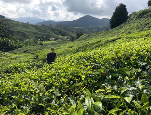 Cameron Highlands – Teeplantagen so weit das Auge reicht